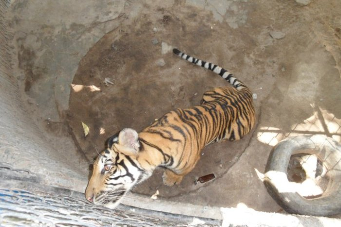 phuket-zoo-tiger-photo
