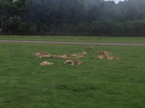 lions (10)