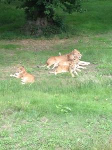 lions (6)