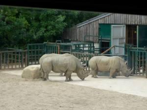 Pleasant rhinocerous