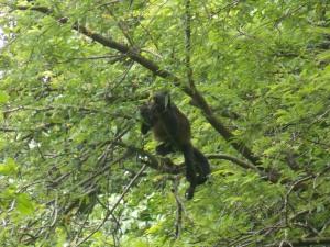 Wild monkey